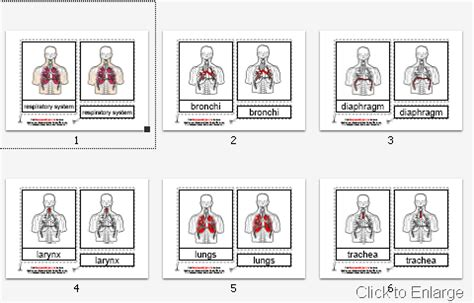 template for montessori nomenclature cards montessori materials parts of the human respiratory system