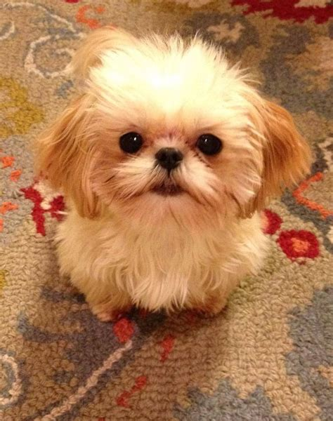 imperial shih tzu puppies for sale in alabama 1000 images about imperial shih tzu puppies alabama imperial shih tzu puppies for