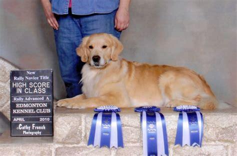 golden retriever puppies edmonton golden retriever club edmonton photo