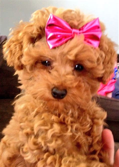red toy 10 best red toy poodle images on pinterest poodles toy