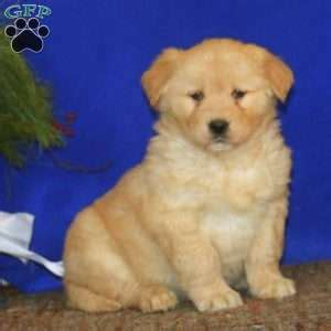 mini goldendoodle tucson ship from gfp shipping puppies greenfield puppies