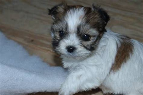 maltese shih tzu terrier 97 best cuteness images on