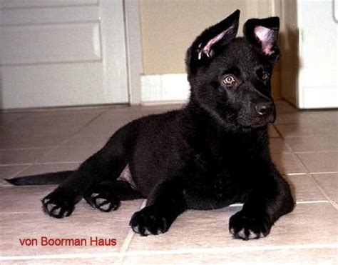 black german shepherd puppies for sale boorman haus black german shepherd puppies
