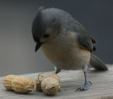 tufted titmouse with a peanut new jersey bird photos