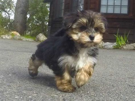 morkie puppies for adoption morkies page 3 for sale ads free classifieds