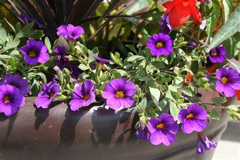 wallpaper bunga violet gambar mekar menanam ungu daun bunga botani