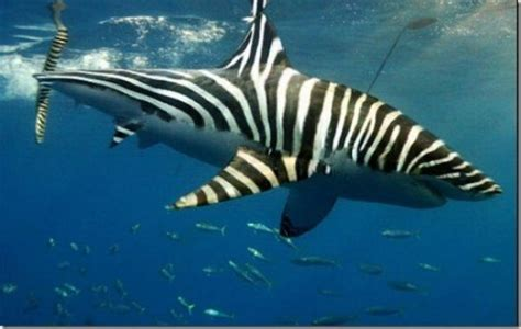 Zebra-shark | Fish/Tanks | Pinterest
