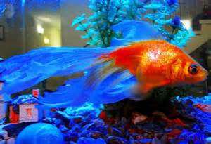 colorful freshwater fish pin colorful freshwater fish tropical discussion forums on