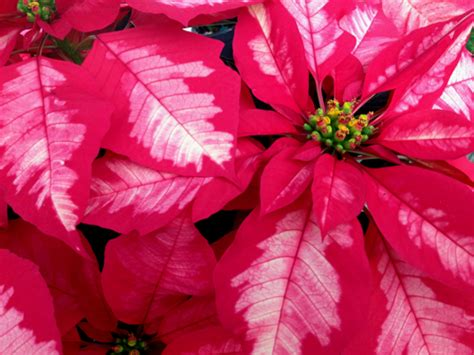 different types of poinsettia