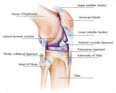 human knee diagram human anatomy diagram lateral collateral ligament knee