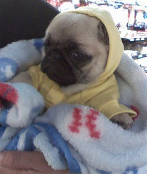 pug in a onesie bug in a rug 12 dogs in onesies me