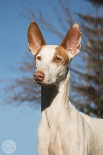 ibizan hound puppies for sale ibizan hound breed index at dogz