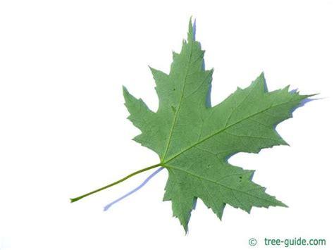 maple tree leaf arrangement silver maple acer saccharinum