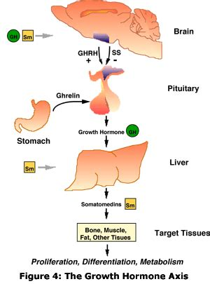 all about growth hormone | precision nutrition