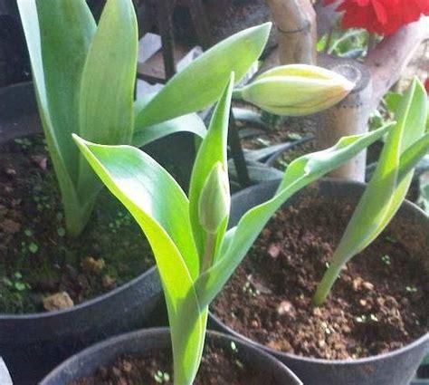 Pupuk Untuk Bunga Lili cara menanam dan merawat bunga putih bibitbunga