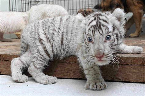 baby white tiger cubs white tiger cubs ready to leave their