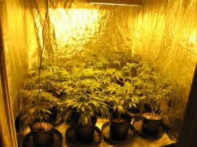 top marijuana marijuana grow rooms learn growing marijuana
