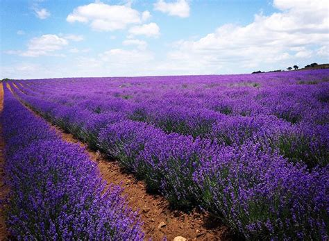 enjoy growing your own lavender with these tips quiet corner