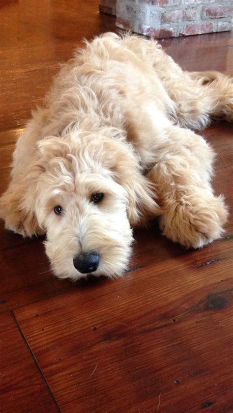 face hairstyle goldendoodle 445 best oodles of doodles images on pinterest
