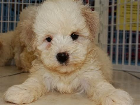 dogs for sale denver malti poo puppies dogs for sale in denver colorado co 19breeders fort collins