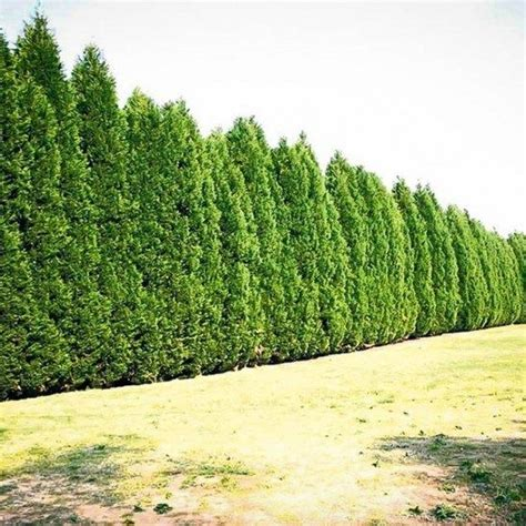 is leyland cypress still the tree to plant i think not 48 best privacy trees images on pinterest privacy trees