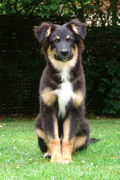 black tri australian shepherd puppy best 25 black tri australian shepherd ideas on black australian shepherd