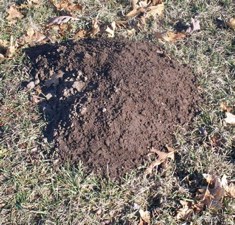 gopher in backyard mountains popping up in your yard pocket gophers are a sure sign of spring