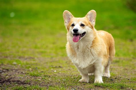 corgi dogs the corgi personality revealed rover