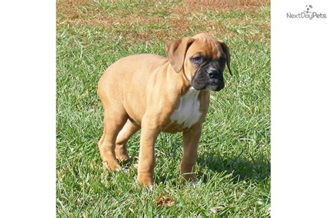 boxer puppies for sale in kansas chion sired boxer puppy for sale near kansas city missouri 6e9511c6 bb91