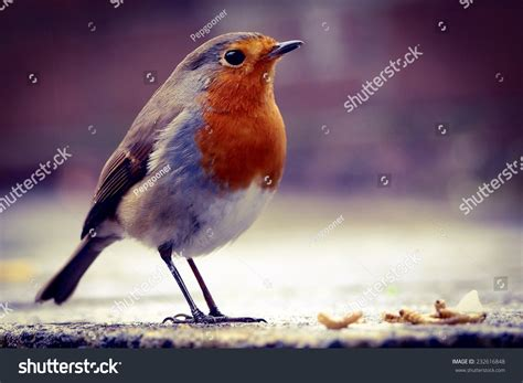 robin about to feed on dried mealworms in an urban garden