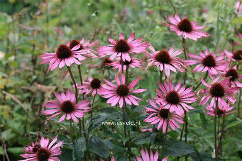 Den Ideas echinacea purpurea rubinstern tuin pinterest