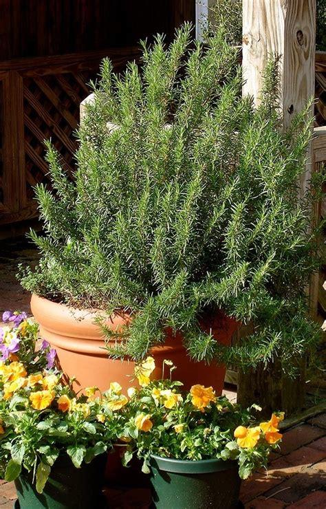 coltivare rosmarino in vaso coltivazione rosmarino coltivare orto consigli per