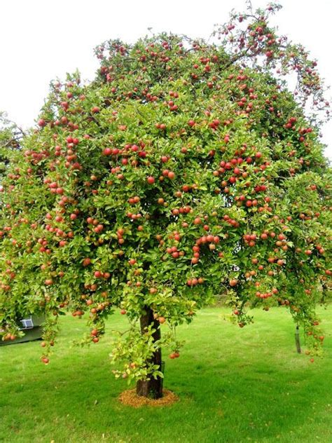 apple tree apple tree attracts downy woodpeckers and deer may need