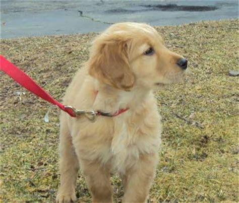 norcal golden retriever breeders the golden retriever breed breeds picture