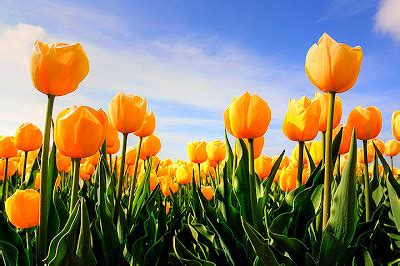 tulip flower tulip flowers backgrounds wallpapers desktop wallpaper backgrounds