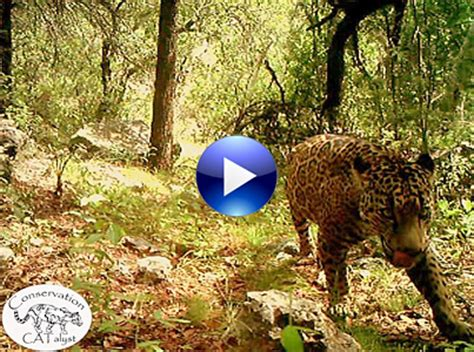 what state are the jaguars from new shows america s only known jaguar