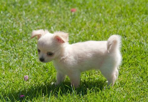 chihuahua puppies for sale indiana chihuahua puppies for sale akc puppyfinder
