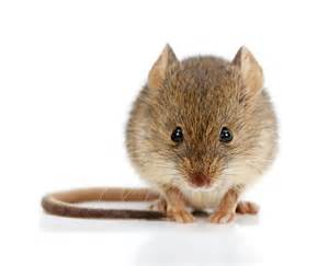 mouse images animal friendly ways to get rid of mice safebee