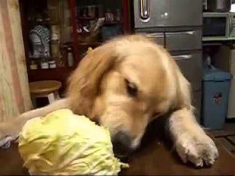 is lettuce for dogs eats lettuce veggie