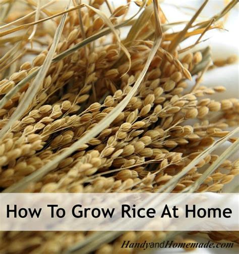 how to grow rice at home from seed oohhh interesting