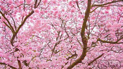 cherry tree symbolism vale publicar flor da cerejeira vale publicar