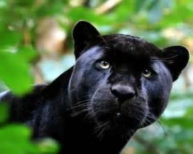 Jaguar Panther Black Jaguar Black Panther Images