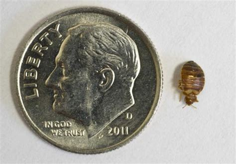 Cheapest Way To Kill Bed Bugs by Cheapest Way To Kill Bed Bugs Home Remedies For Bed Bugs