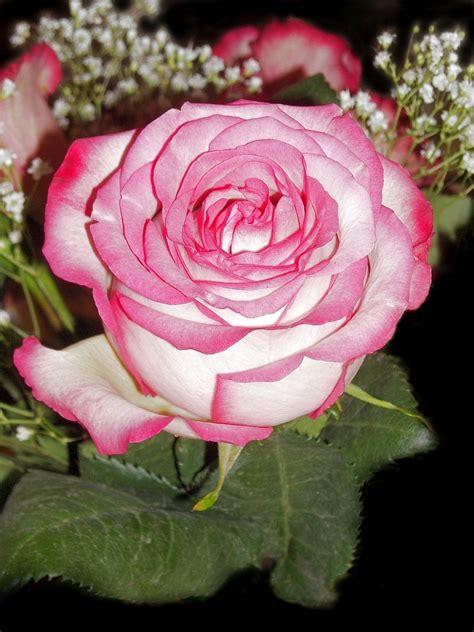 imagenes de rosen up fotos botanik rosen