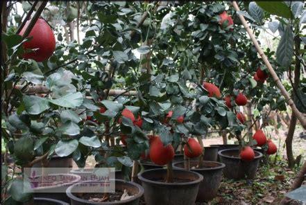 Bibit Jeruk Pamelo Thailand tabulot jeruk pamelo merah cara mudah agar pohon jeruk pamelo merah dapat berbuah didalam