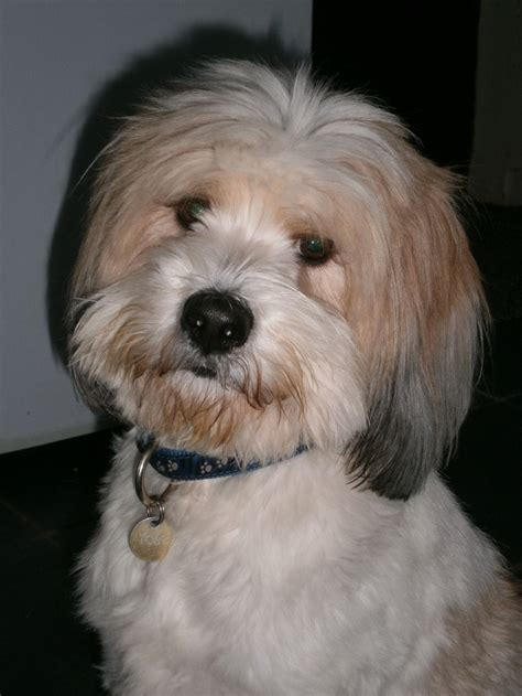 hair cuts for the tebelan terrier tibetanterrier haircuts hairstyle gallery
