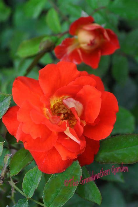 grandmothers garden rosa caramba