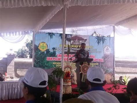Bibit Sapi Bali wamentan luncurkan bibit sapi bali di jembrana