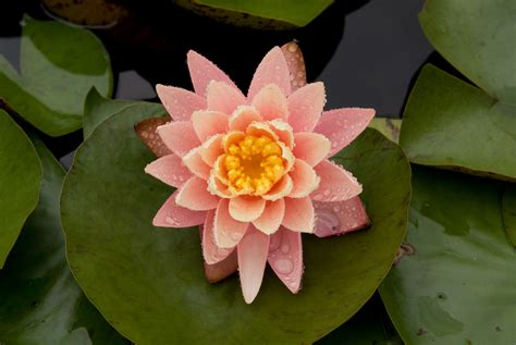 image gallery japanese water lily