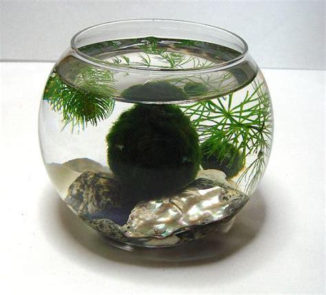 zen marimo moss balls   natural zen pet mini aquarium